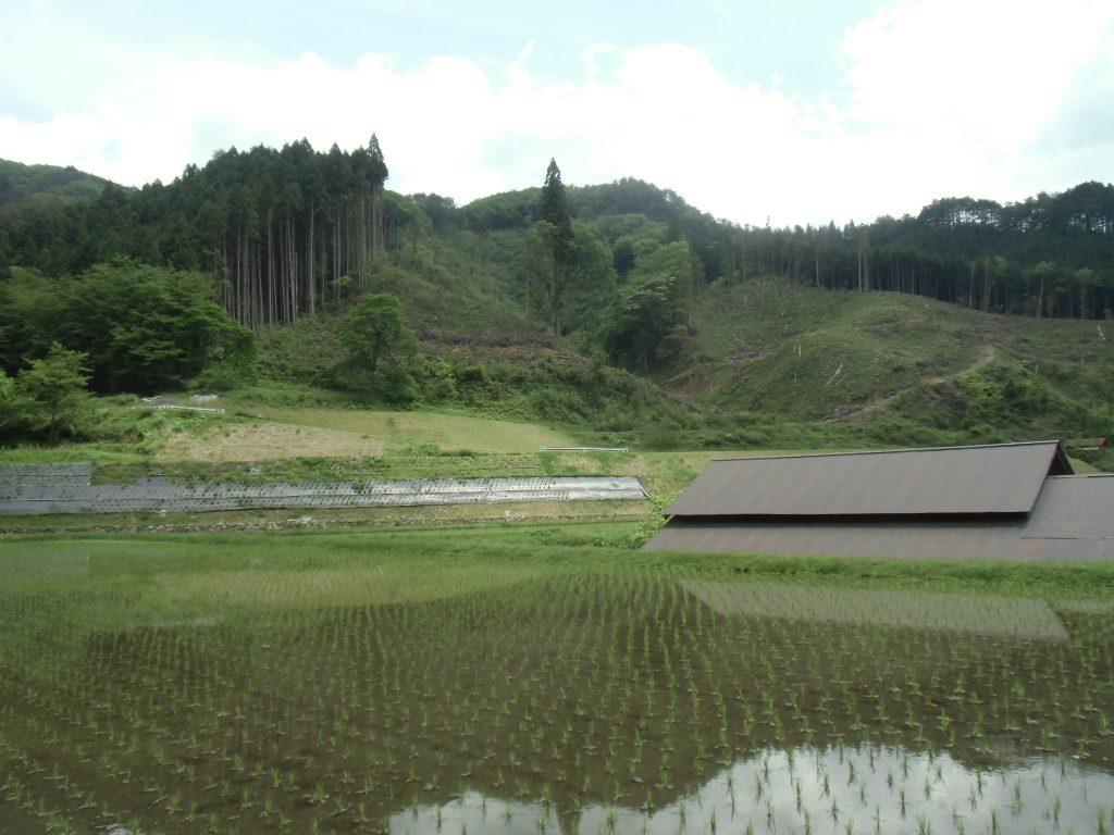 伐採跡地と芝桜